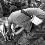 02–Melepas Getir Hidup di Jagal Sapi
