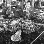 04-Melepas Getir Hidup di Jagal Sapi